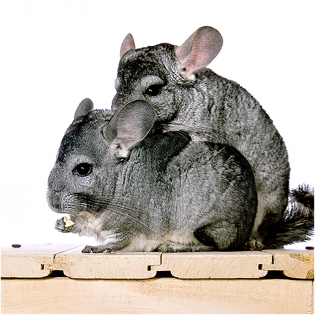 3D Greeting Card Hungry Chinchilla