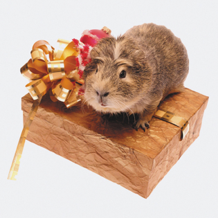 3D Greeting Card Guinea Pig Present